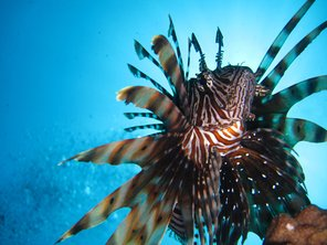 Lionfish on the Boon Song wreck